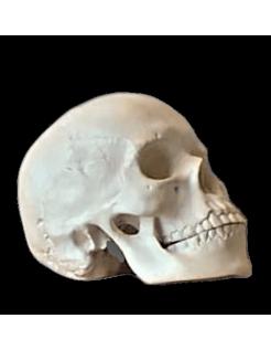 Crâne moulé à partir d'un authentique crâne humain