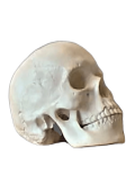 Cráneo moldeado a partir de un auténtico cráneo humano