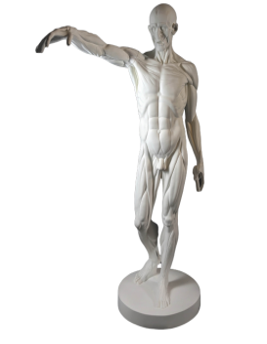 L'Écorché, bras droit tendu devant by Jean-Antoine Houdon