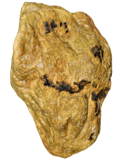 Vulva del Neandertal de Ferrassie - Le Bugue