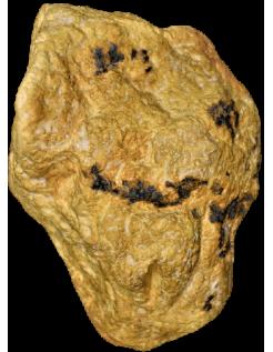 Vulva of female neanderthal of la Ferrassie - Le Bugue